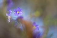 Ormai sono rimasti pochi ciuffetti di anemoni epatiche, la loro stagione è finita, ma... mi hanno regalato tantissimo. Una serena Pasqua a tutti voi... per quanto possibile.