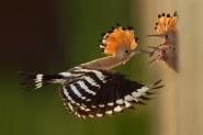 Una coppia di upupe ha scelto uno spacco sulla parete verticale di un granaio per costruire il proprio nido. 500mm; f4; 1/2000sec; Iso800; flash in alta velocità+ better beamer; nascondiglio. I due pulli si sono involati dal nido a distanza di due giorni l'uno dall'altro.