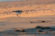 Il Progetto Dune, nasce per salvaguardare alcune particolari specie animali e vegetali  che in estate con l'arrivo dei turisti sono a rischio.  Una di queste specie è il Fratino, un piccolo trampoliere dalla mortalità altissima proprio per le sue dimensioni ridotte e l'habitat in cui nidifica...Le spiagge in estate... Provate a frequentare la spiaggia quando il sole non è sorto ancora... potrete godere di una rara meraviglia di quiete e pace.  ...Un saluto a tutti ...  P.S. perdonate l'assenza ma sono alle prese con un nuovo programma di post per le foto notturne, Pixinsigth... completamente in inglese e poco intuitivo... mi sto spaccando la testa li... :D :D :D   [img]http://www.micromosso.com/immagini/staff.jpg[/img]